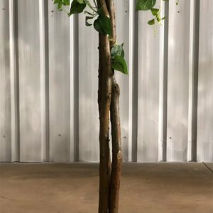boxwood trees